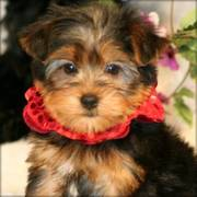 Yorkshire Terrier puppfor a new home now